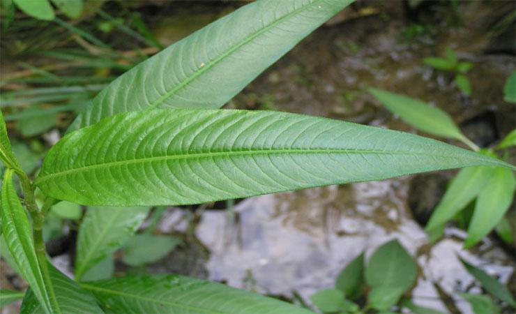 Smartweed Leaves